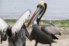 iles-Ballestas-oiseaux01