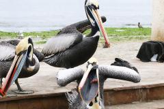 iles-Ballestas-oiseaux02