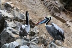 iles-Ballestas-oiseaux05
