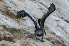 iles-Ballestas-oiseaux07