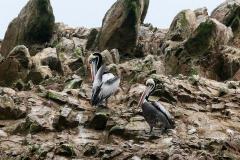 iles-Ballestas-oiseaux12
