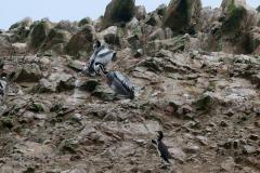 iles-Ballestas-oiseaux13