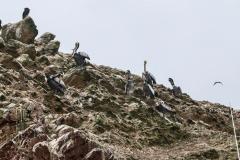 iles-Ballestas-oiseaux14