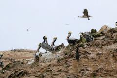 iles-Ballestas-oiseaux15
