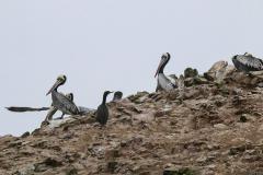 iles-Ballestas-oiseaux16
