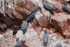 iles-Ballestas-oiseaux18