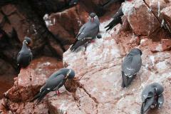 iles-Ballestas-oiseaux19