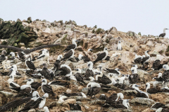 iles-Ballestas-oiseaux23