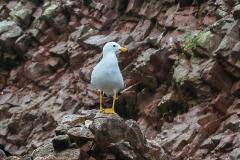 iles-Ballestas-oiseaux26