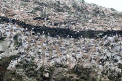 iles-Ballestas-oiseaux27