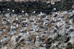 iles-Ballestas-oiseaux28