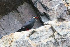 iles-Ballestas-oiseaux30