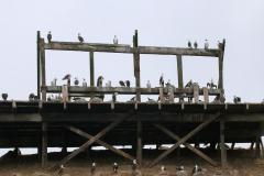 iles-Ballestas-oiseaux31