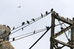 iles-Ballestas-oiseaux32