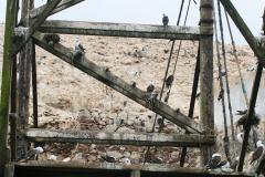 iles-Ballestas-oiseaux33