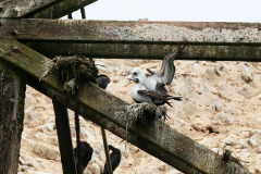 iles-Ballestas-oiseaux34