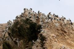 iles-Ballestas-oiseaux35