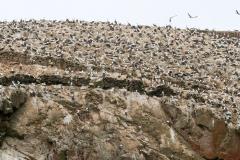 iles-Ballestas-oiseaux36
