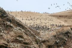 iles-Ballestas-oiseaux38