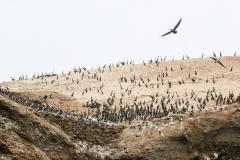 iles-Ballestas-oiseaux39